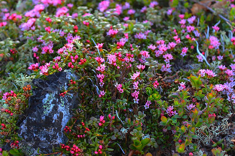 While hiking along the tundra around Caribou Lodge Alaska you are sure to find amazing tundra flowers like the alpine azalea. Alaska Wilderness Lodging near Denali