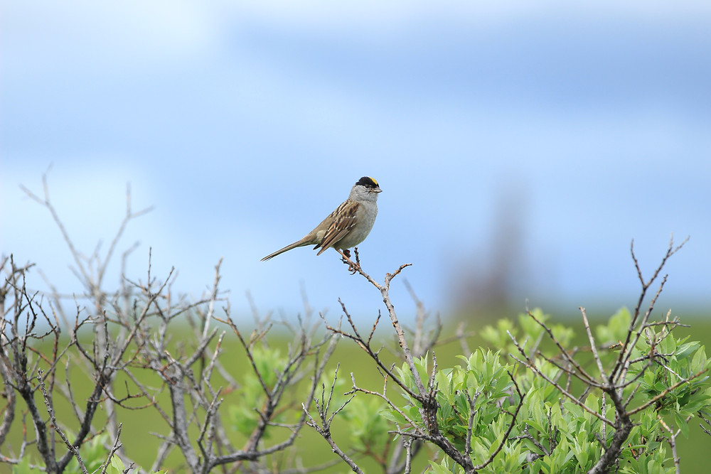 Golden-crowned Sparrow at Caribou Lodge Alaska