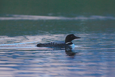 A Beautiful Loon swims in the private lake at Caribou Lodge in the Talkeetna Mountains
