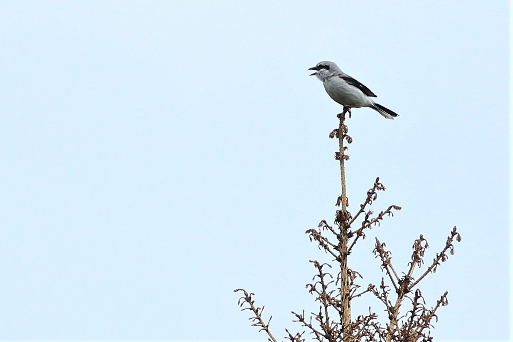 Northern Shrike at Caribou Lodge Alaska near Denali Park