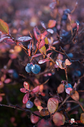 Frozen blueberries and fading fall colors during a hike at Caribou Lodge Alaska