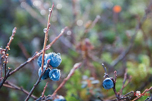 Frost settles onto blueberries that are about to fall off the bush before snow covers the ground at Caribou Lodge Alaska. Winter comes in late October here in the Denali region near Talkeetna in southcentral Alaska.