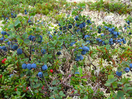 Mountain blueberries are plentiful around this Alaska wilderness lodge during August and September. Visit Caribou Lodge near Denali for a chance to pick your own wild blueberries