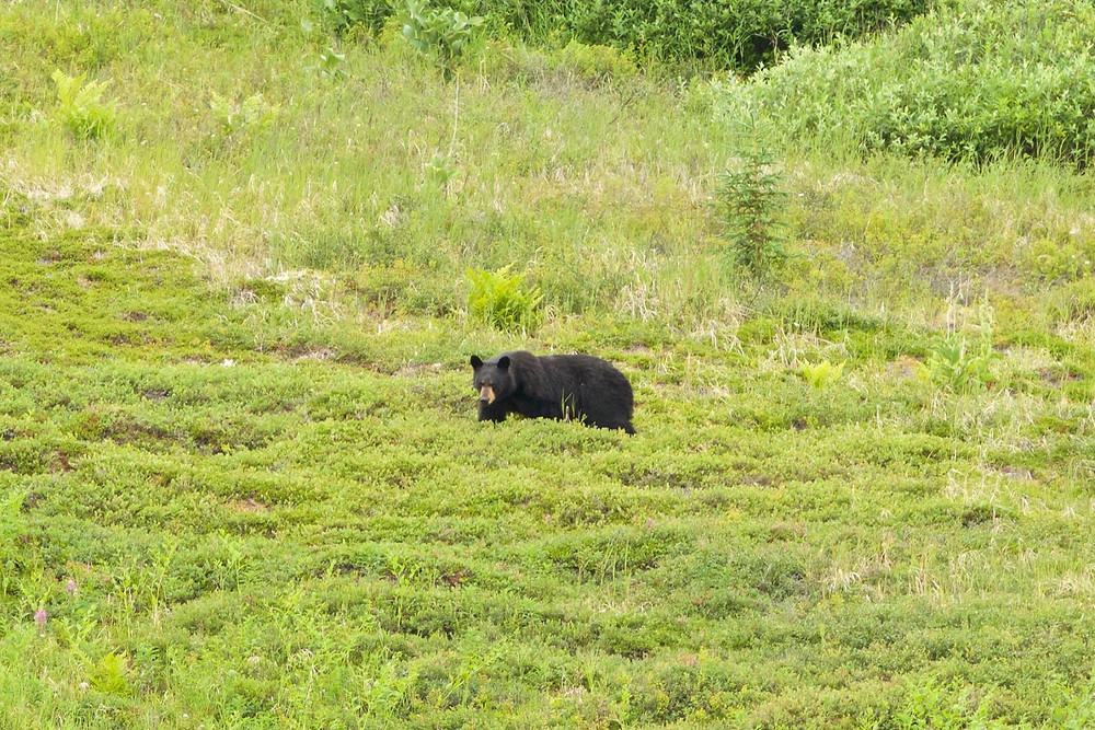 A large boar black bear forages for berries just a few hundred yards from our hiking trail