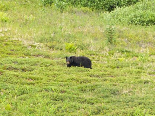 Alaska's Black Bear & Blueberries