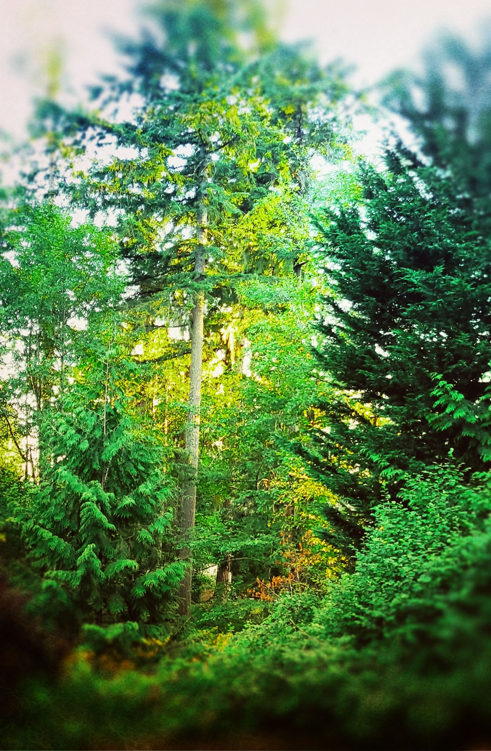 Old grown evergreen trees in mountainside forest.