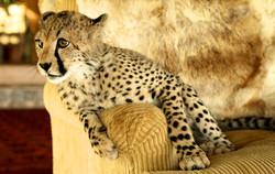 Sheba on sofa, Sirikoi, Kenya