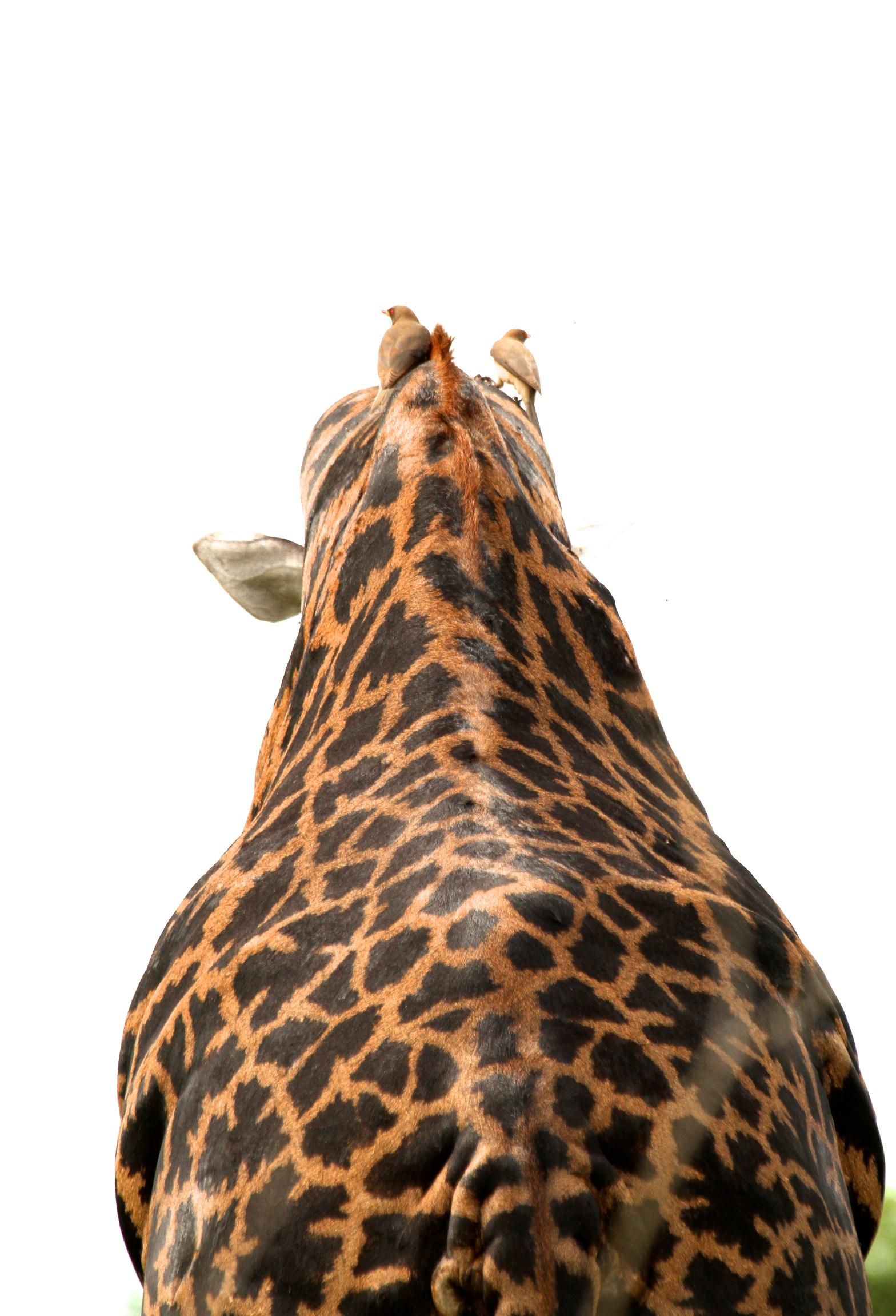 Giraffe with Tickbirds