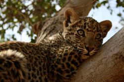 Leopard cub, India
