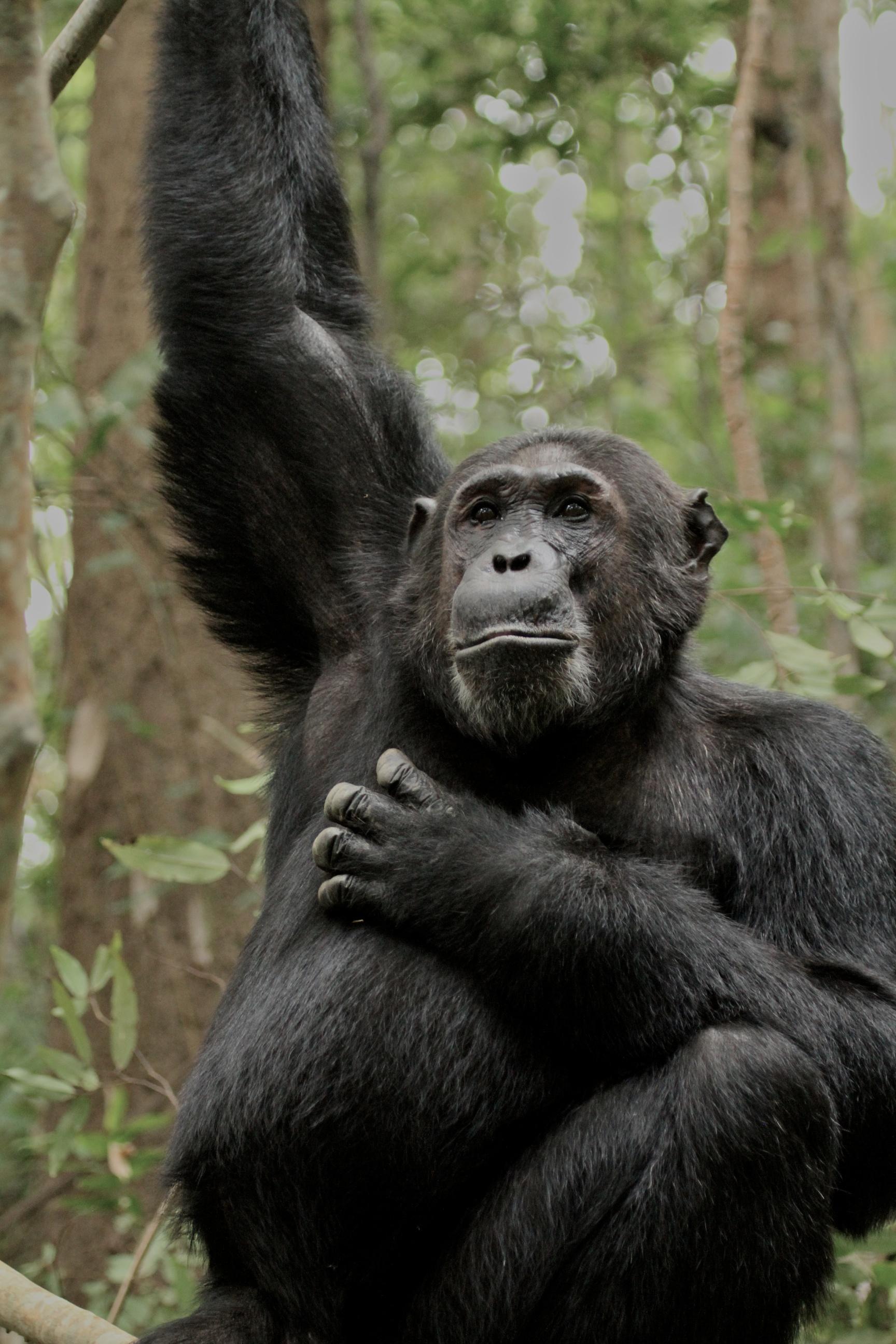 Alofu, Alpha male chimpanzee