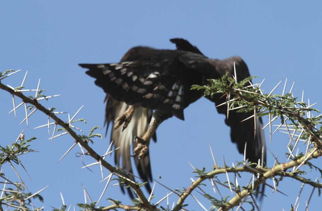 Long-Crested Eagle taking off from Acacia tree, Lewa, Kenya