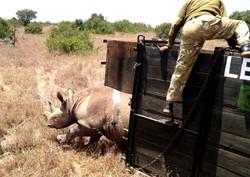 Rhino release, Borana, Kenya
