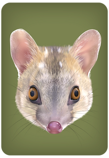 Quoll-offspring-brown_edited.png