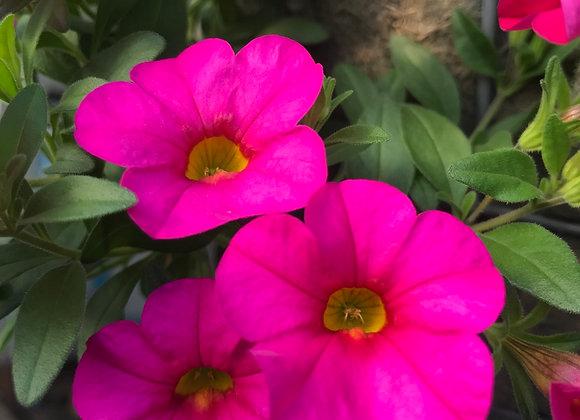 Superbells, Cali Rose