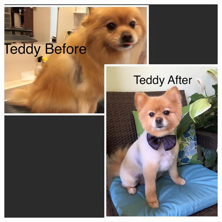 Teddy before and after _-) __#paulaspoms#mypompalace #mypom #pompalace #pomeranian #ilovedogs #ilove