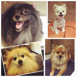 My Pomeranian customers today _-) _Mi clientela pomeranians de hoy ! _-) __Tinkerbell, Cole, Zoe and