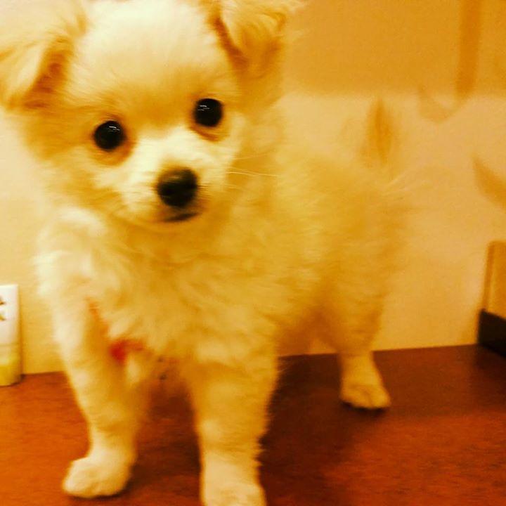 #babypom#pompalace #pomeranian #pomesky #doggielovers #doglove