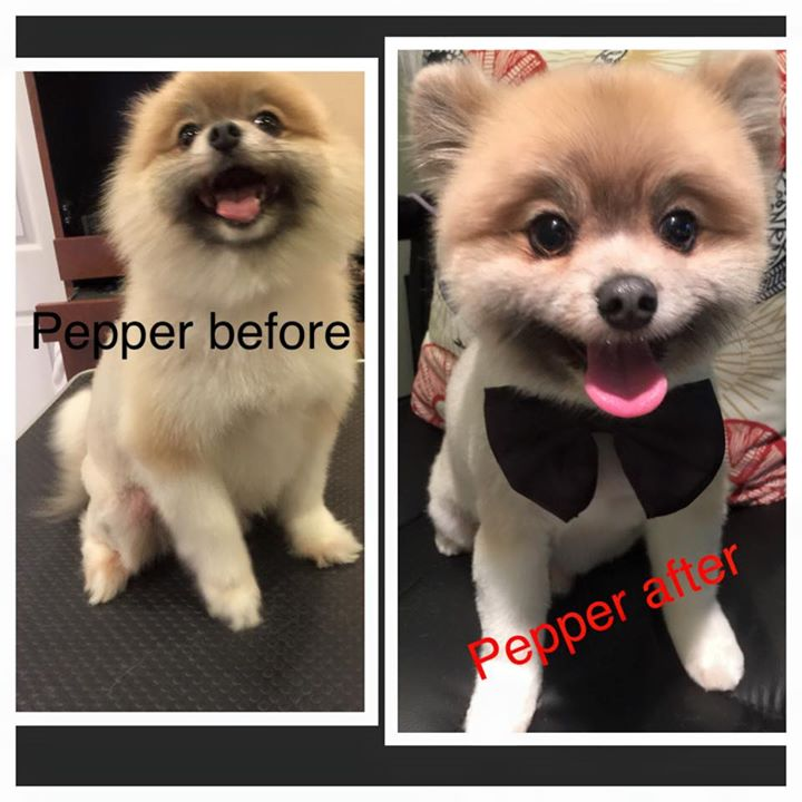 Pepper before and after _-) __#paulaspoms#mypompalace #mypom #pompalace #pomeranian #ilovedogs #ilov