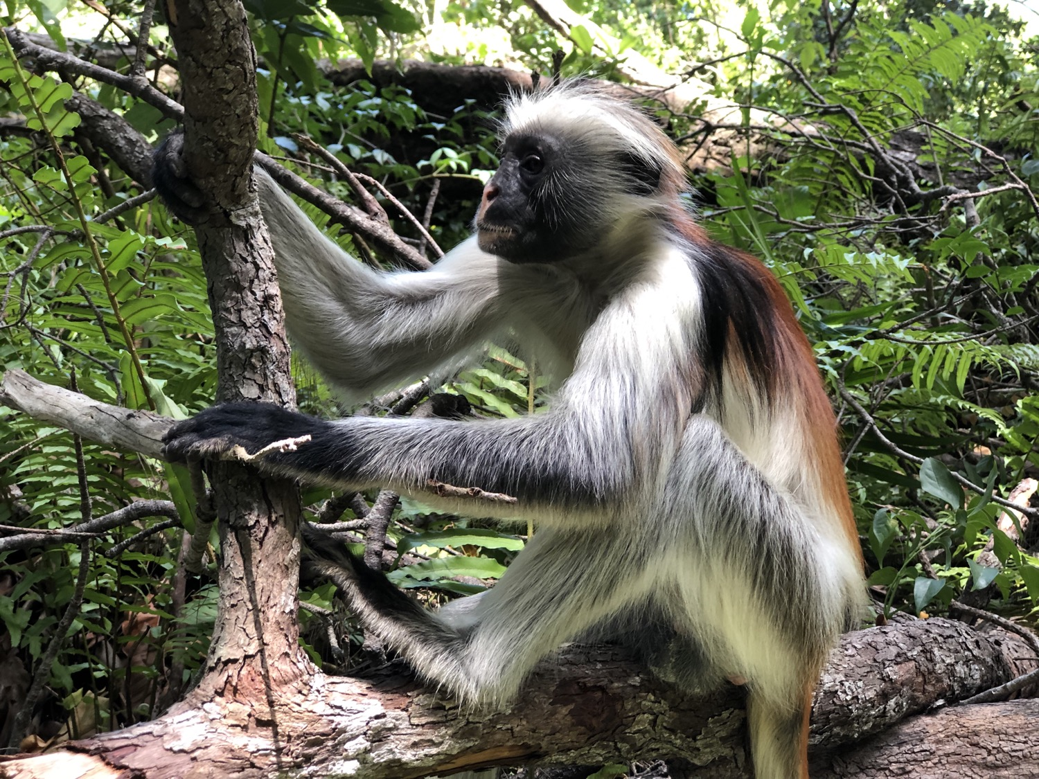 Rare Red Colobus monkey of Jozani Forest