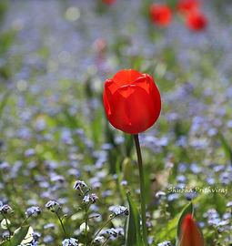 Red Tulip 2 (1).jpg