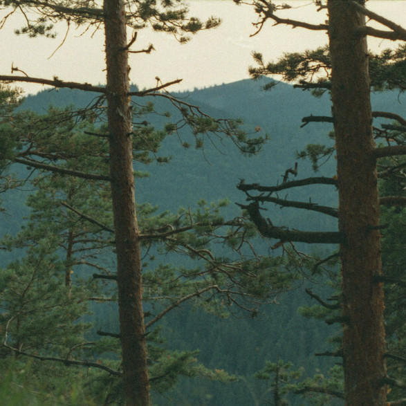 Old pine trees
