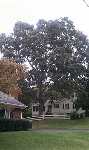 Oak tree, Ivy Drive, Lynchburg, Virginia