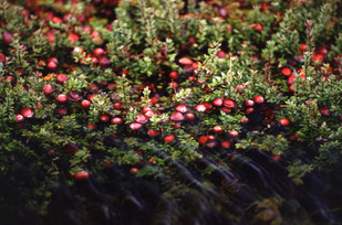 """Tidmarsh Farms—""""turning a cranberry bog back into the coastal wetland it once was"""""""