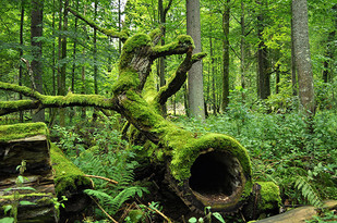 """""""Left-Alone Places""""—the Old-Growth Forest Network and the preservation of trees"""