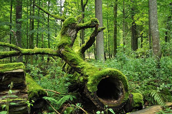 Białowieża Forest in Poland by Jacek Karczmark