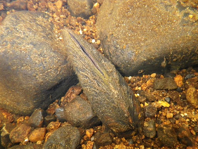 Protected Species Survey Freshwater pearl mussel Lunar Environmental