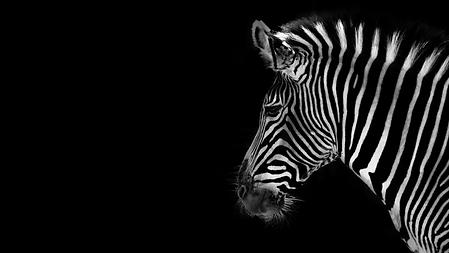 BZ Zebra.png