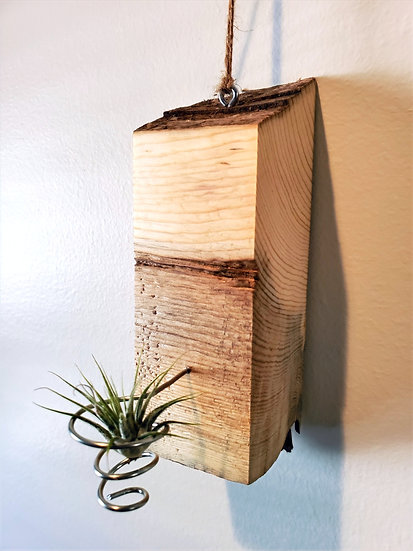 Live Edge Pine and Wire Air Plant Display with Air Plant