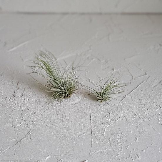 Live Air Plant - Tillandsia fuchsii var. gracilis