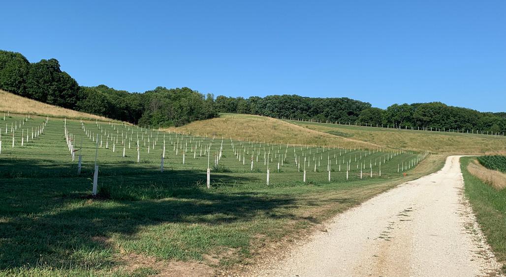 Chestnut trees along road