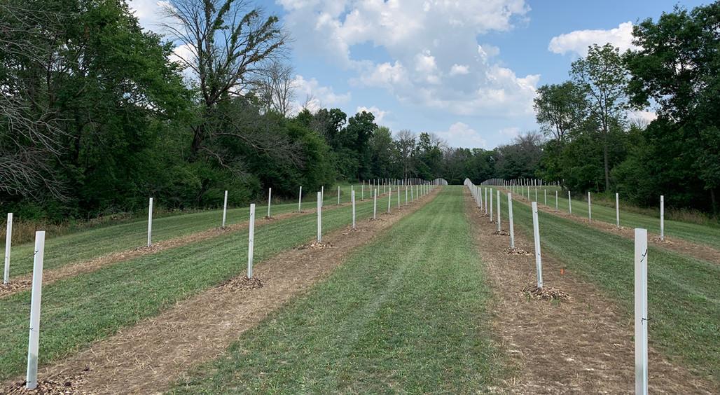 Field of chestnut trees