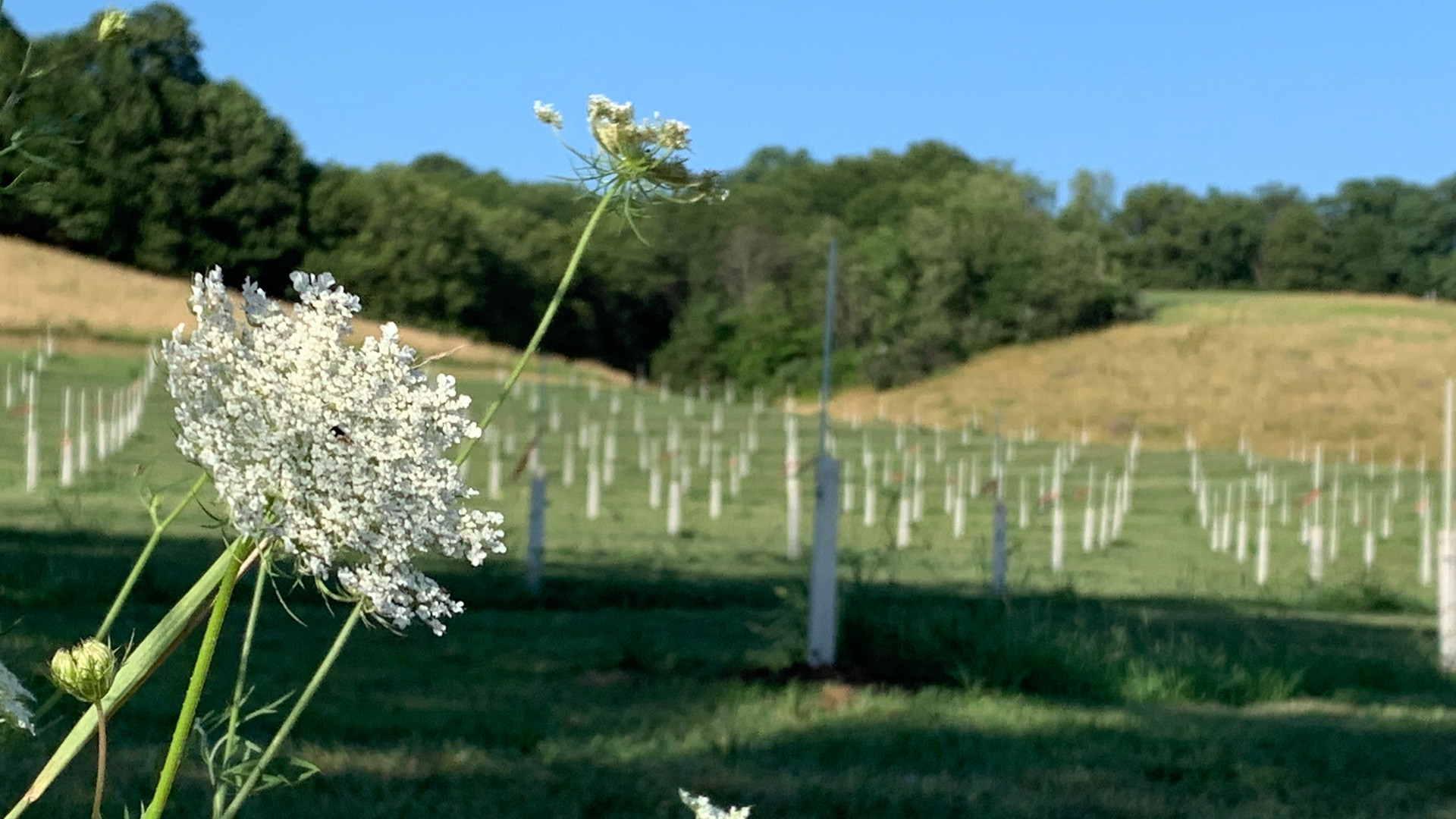 Chestnut trees and Queen Anne's Lace