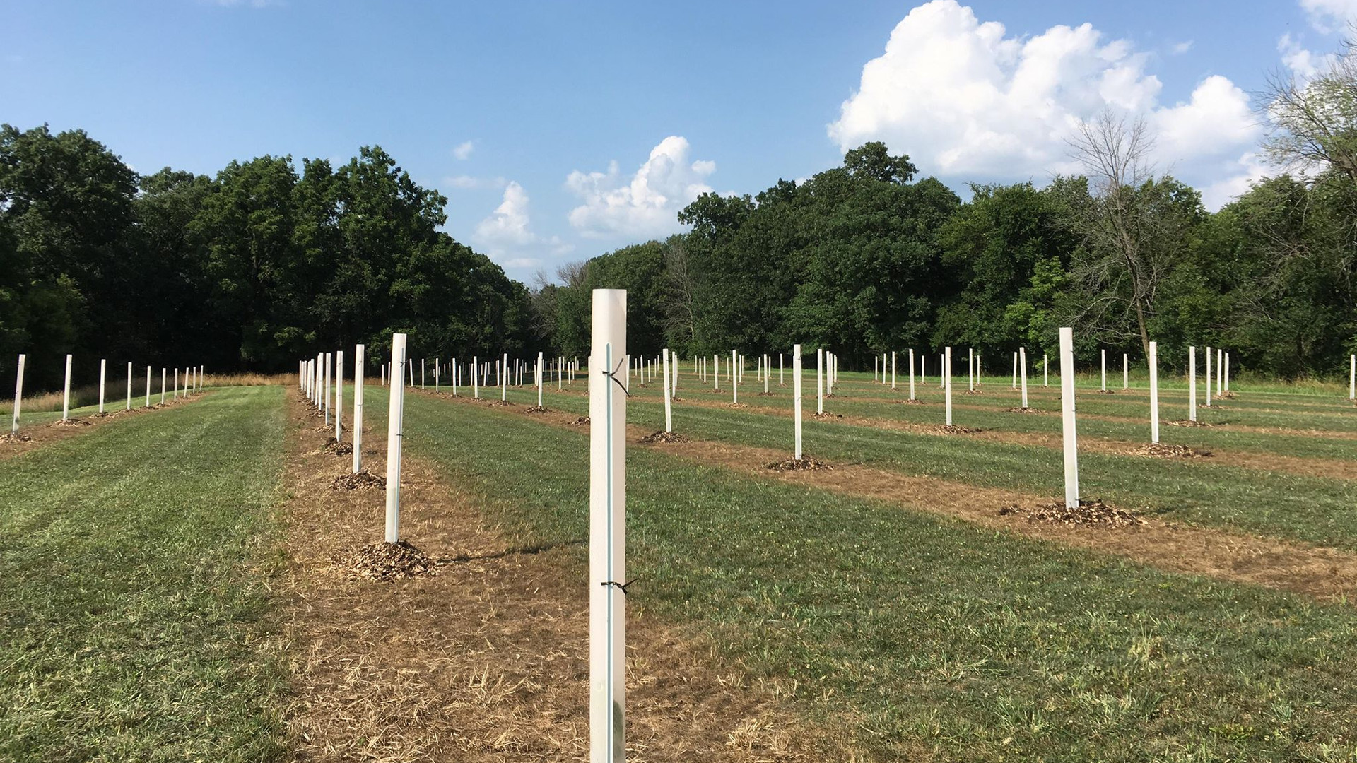 Young chestnut trees protected in tubes
