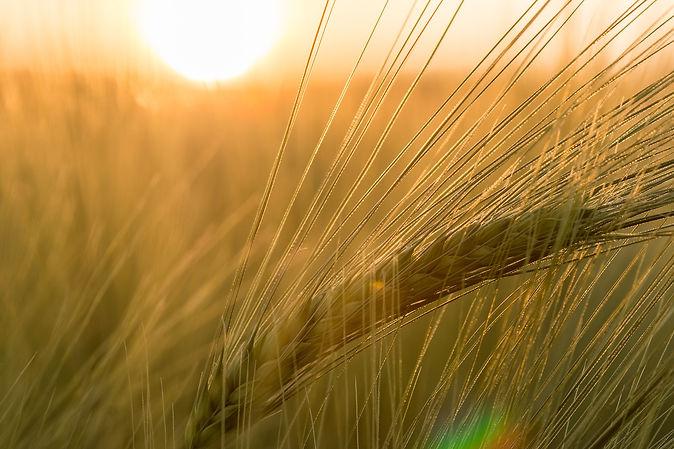barley-811340_1920.jpg