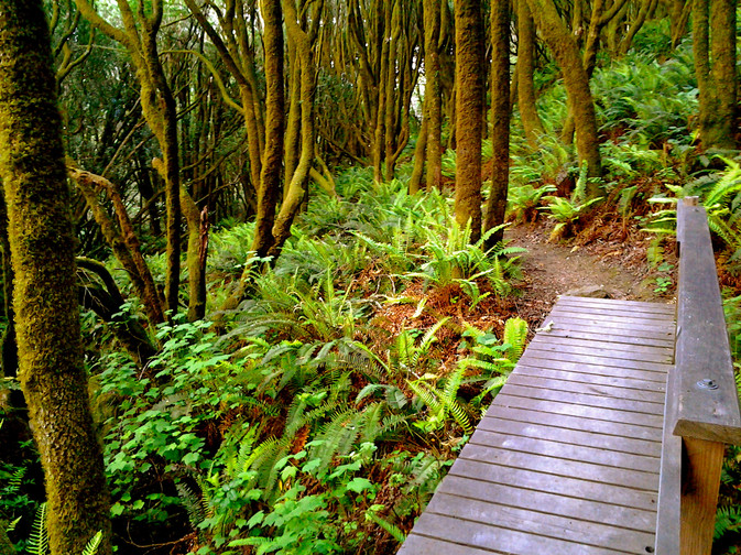 Sworn ferns and bay trees on Miwok Trail