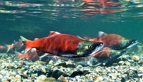 California-salmon_1600.jpg