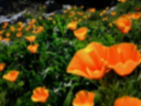 California poppies and grass