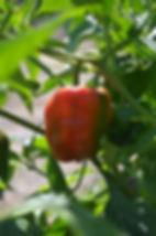 Red bell pepper ready for harvest