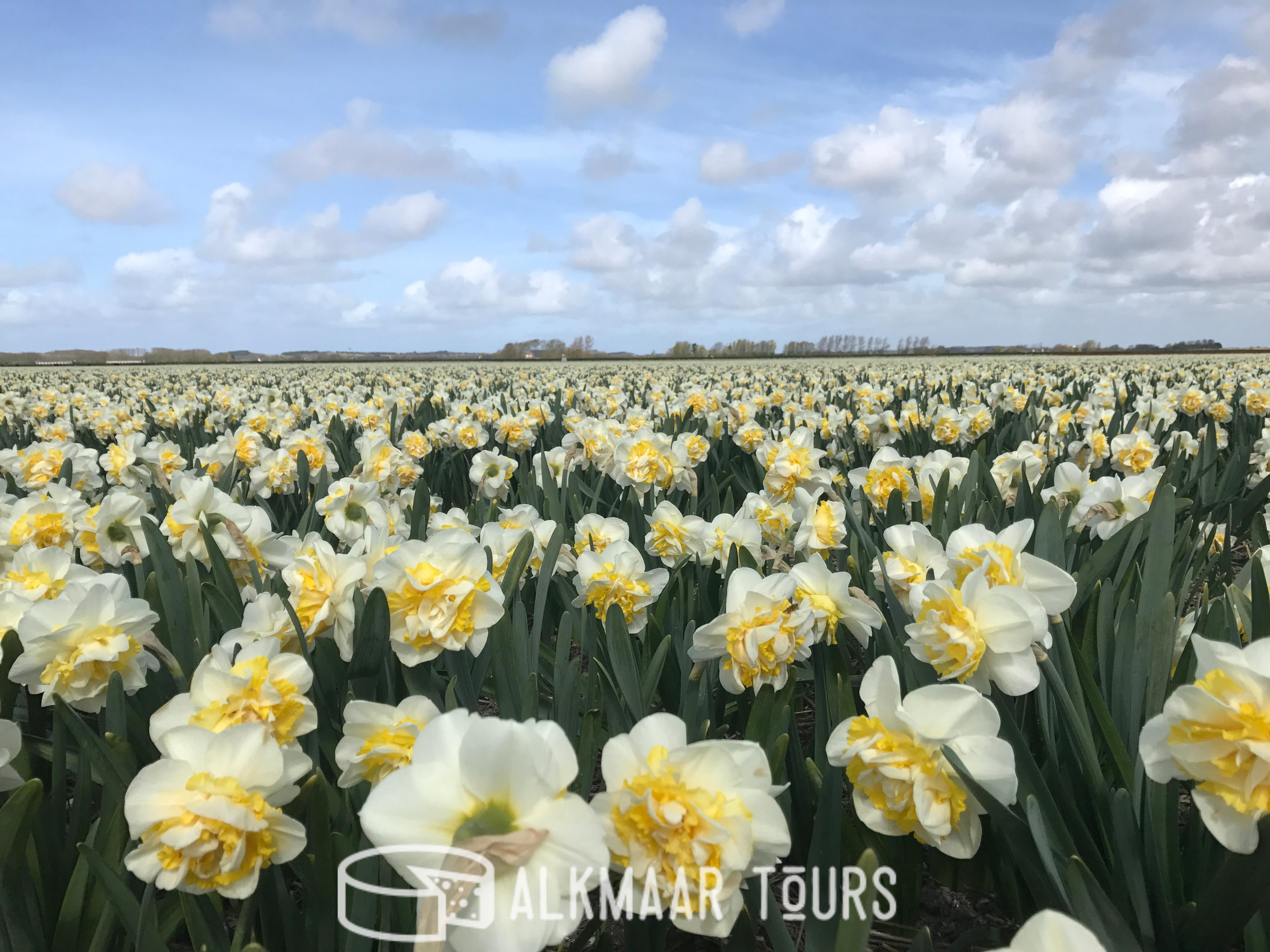 Daffodil Field Near Alkmaar