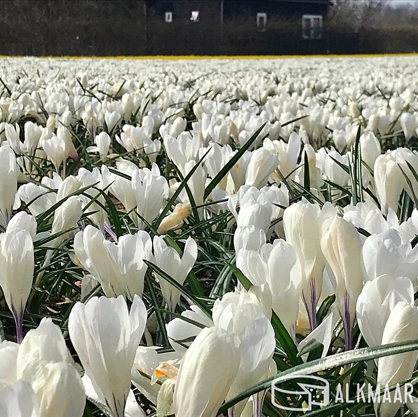 Crocus Field near Alkmaar 2018