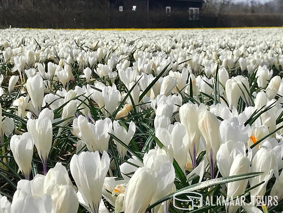 Crocus field near Alkmaar, the Netherlands