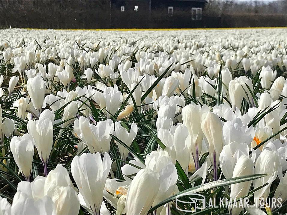 Crocus field near Alkmaar, the Netherlands