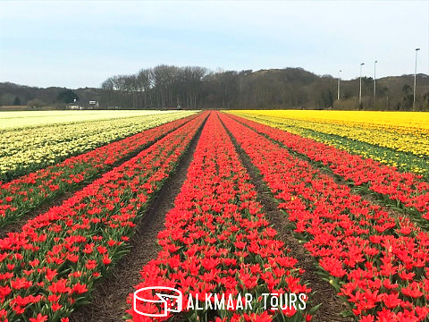 Tulip Fields Near Alkmaar 2018