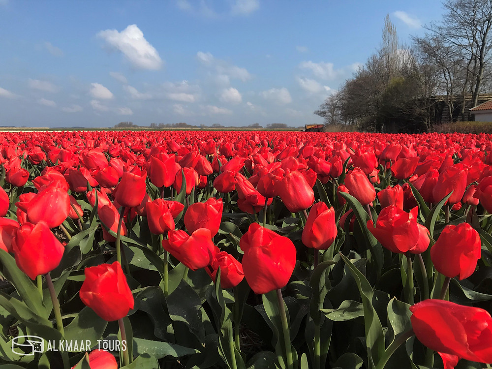 Tulip Field near Alkmaar