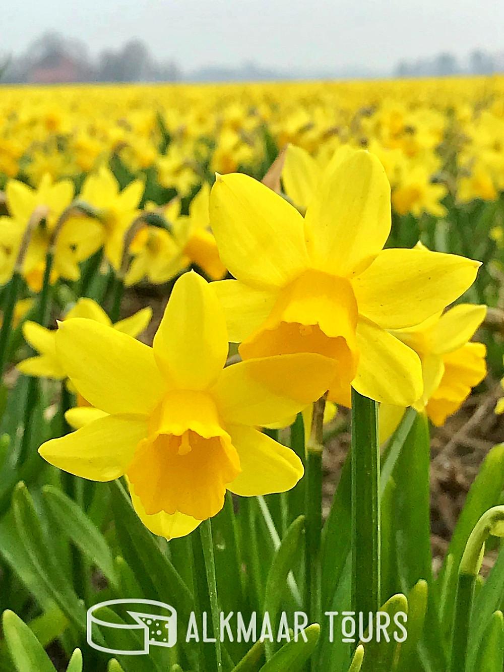 A field of tete-a-tete daffodils