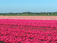 Tulip Fields Near Alkmaar